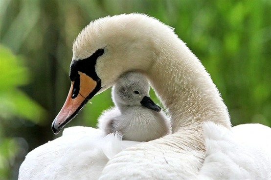 White Swan mother with baby nature animals